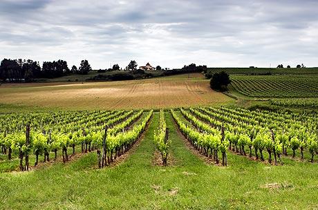 Pěstování hroznového vína